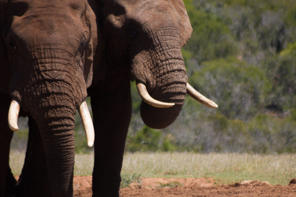 African elephants spotted in Addo Elephant Park