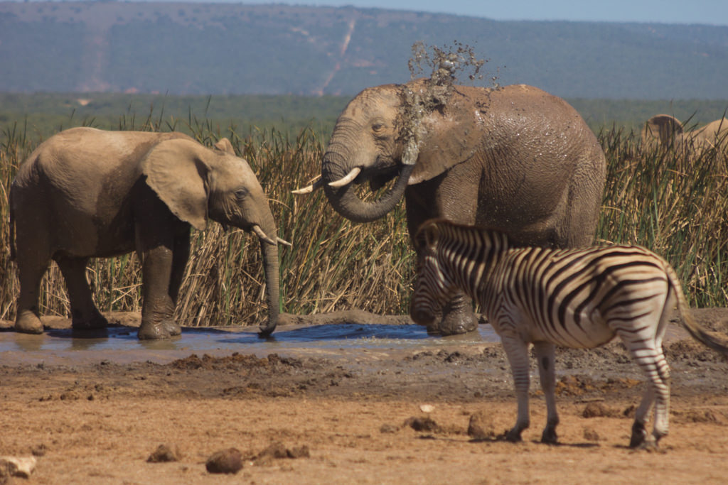 Bathing elephants and a zebra in Addo Elephant Park