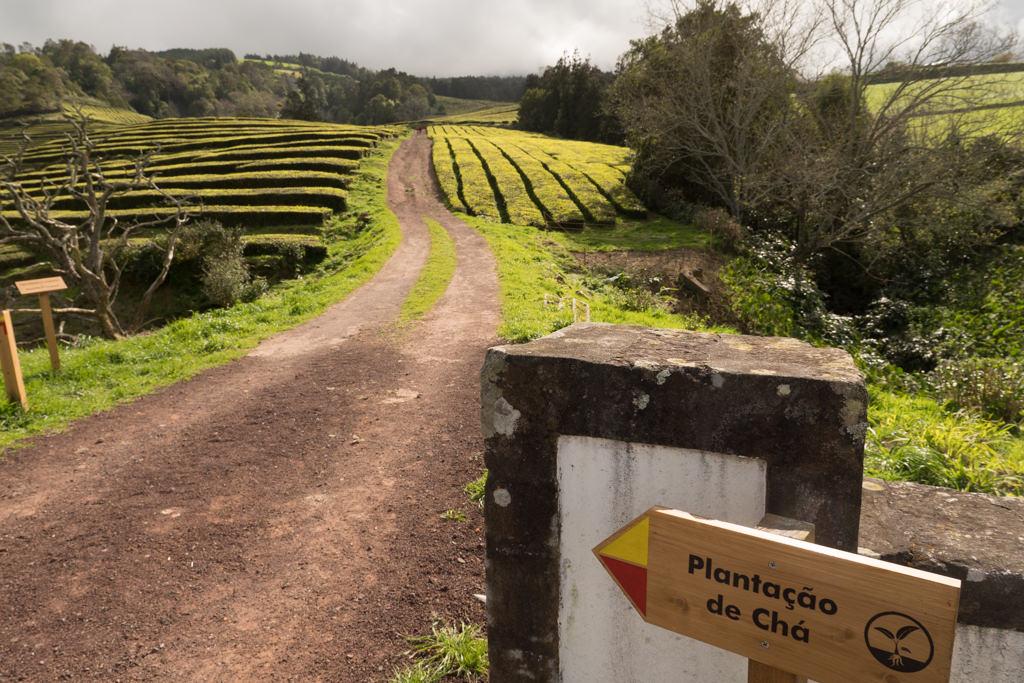 Tea plantations on Sao Miguel island on the Azores islands